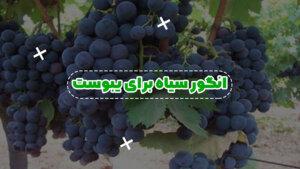 انگور سیاه برای یبوست